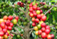 Pěstování kávy a její druhy